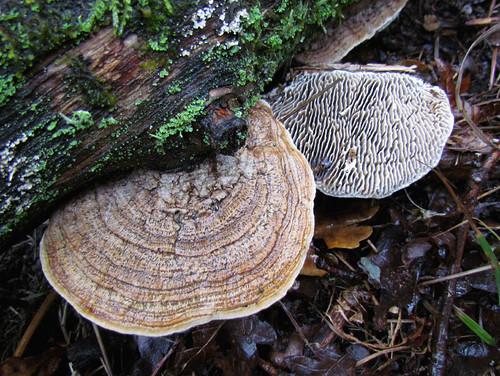 Дубо́вая гу́бка, или деда́лея дубовая — вид грибов, входящий в род Дедалея семейства Фомитопсисовые. Один из самых широко распространённых грибов, вызывающих бурую гниль древесины. Википедия Photo by Kari Pihlaviita on Flickr Автор фото: Kari Pihlaviita