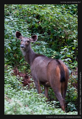 travel weekend wildlife brhills kgudi sambardeer biligirirangan iucnvu rusaunicolor