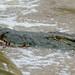 Small photo of Nile Crocodile (Crocodylus niloticus)