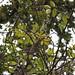 Zanthoxylum hawaiiense
