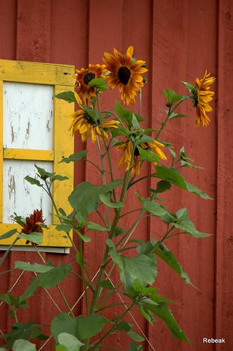 park flowers red white black building green nature yellow bronze barn landscape boards nikon alaskaland rebeak