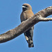 Black-faced Woodswallow - Photo (c) Jerry Oldenettel, some rights reserved (CC BY-NC-SA)