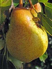 fruit tree, yellow, pear, fruit,