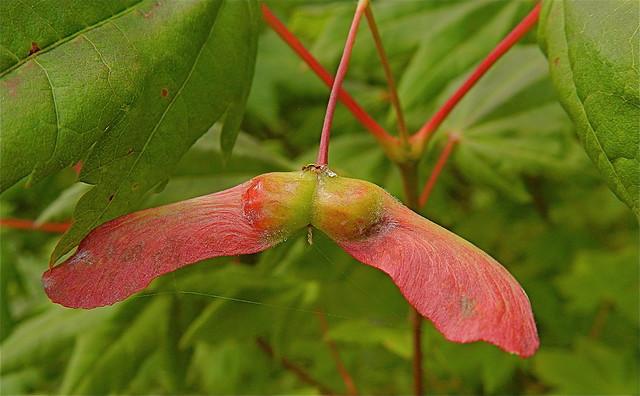 vine maple fruit