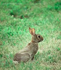 animal, prairie, hare, grass, rabbit, domestic rabbit, fauna, grassland, rabits and hares, wildlife,