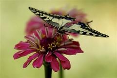 Greece Butterfly