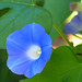 Ivy Morning-Glory - Photo (c) PINKÉ, some rights reserved (CC BY-NC)
