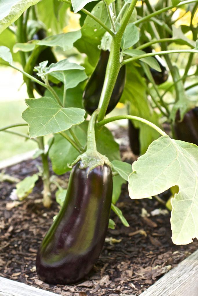 Eggplants in the garden.
