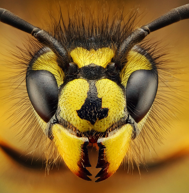 Wasp - osa