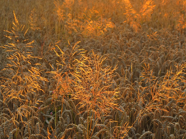 Golden Grass in the Wheat Field