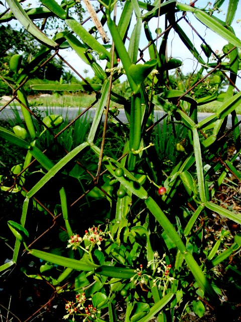 Veldt Grape Cissus Quadrangularis: Kampung Belukar, Alor Setar