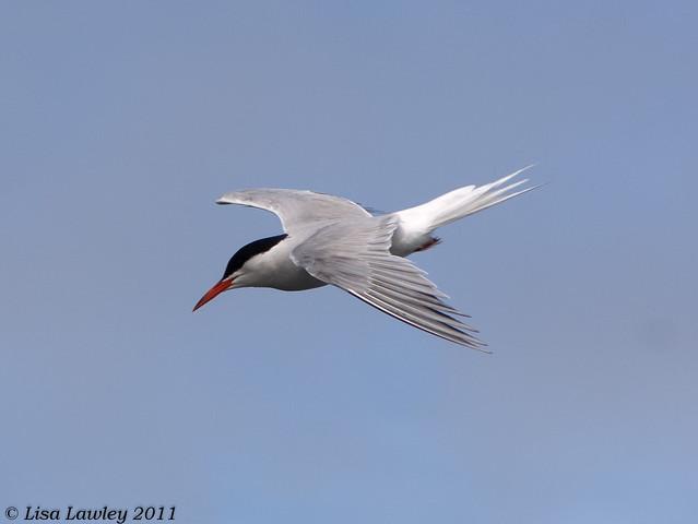 Common Tern Set of Three