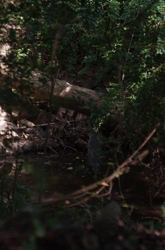 bird heron birds ga georgia egret greatblueheron avian herons egrets ilex gbh avians columbusga coopercreek enlargerlens columbusgeorgia