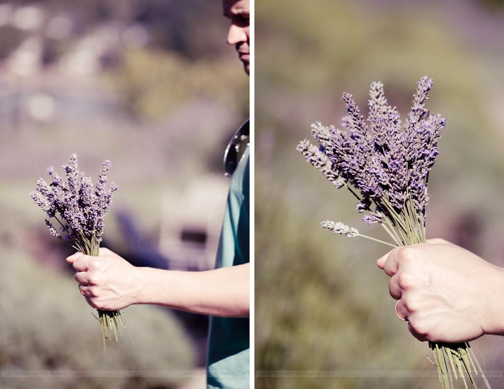 lavender hill farm 16