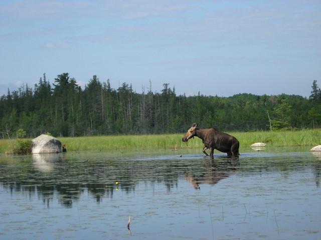 A Moose in Millinocket Lake-2 | Flickr - Photo Sharing!