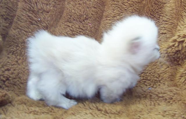 Himalayan Siamese Snowshoe Manx Munchkin kitten | this ...