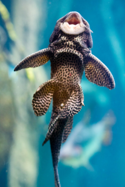 Plecostomus on the Glass