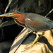 Green Heron Bladensburg 2 by Mr.TinDC