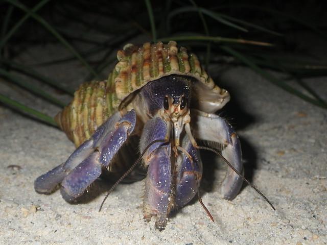 land hermit crab@Kume island,Okinawa,Japan