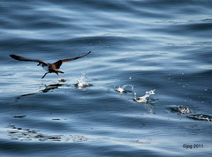 SEABIRD    |  GREATER SHEARWATER    |   GREATER SHEARWATER  IN FLIGHT   | PUFFIN MAJEUR EN VOL    |   GRAND PUFFIN   |   PROVINCETOWN  |   PTOWN   | CAPE COD   |   MASSACHUSETTS   | MA  |  USA