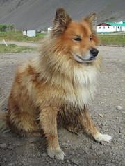german spitz klein(0.0), eurasier(0.0), german spitz(0.0), norwich terrier(0.0), greenland dog(0.0), finnish spitz(0.0), german spitz mittel(0.0), rough collie(0.0), dog breed(1.0), animal(1.0), dog(1.0), scotch collie(1.0), carnivoran(1.0), icelandic sheepdog(1.0),