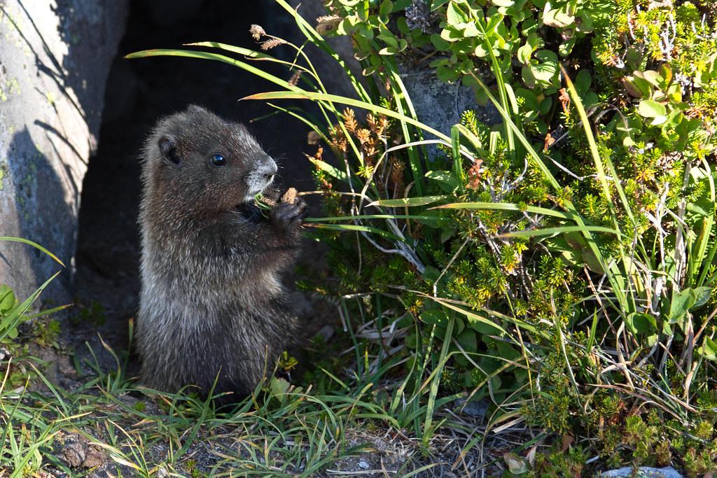 Marmot nom noms