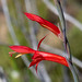 Gladiolus quadrangularis - Photo (c) Tig, all rights reserved