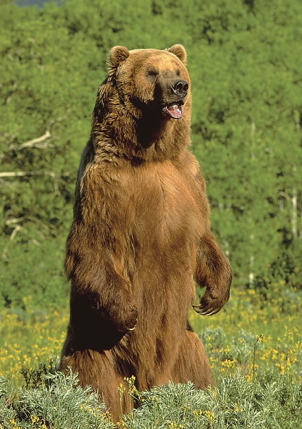 Grizzly Bear | Flickr - Photo Sharing!