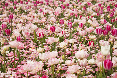 Field of Pink & White Tulips