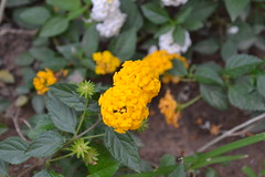 shrub(0.0), common tansy(0.0), annual plant(1.0), flower(1.0), yellow(1.0), plant(1.0), subshrub(1.0), herb(1.0), wildflower(1.0), flora(1.0), lantana camara(1.0),