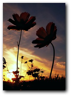 sunset flowers