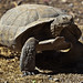 Agassiz's Desert Tortoise - Photo (c) Mike Baird, some rights reserved (CC BY)