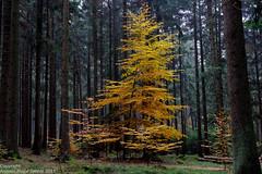 Autumn Tree 5399