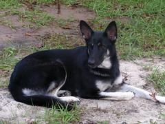 german shepherd dog(0.0), czechoslovakian wolfdog(0.0), karelian bear dog(0.0), east siberian laika(0.0), wolfdog(0.0), shiloh shepherd dog(0.0), dog breed(1.0), animal(1.0), lapponian herder(1.0), dog(1.0), pet(1.0), russo-european laika(1.0), saarloos wolfdog(1.0), east-european shepherd(1.0), carnivoran(1.0),