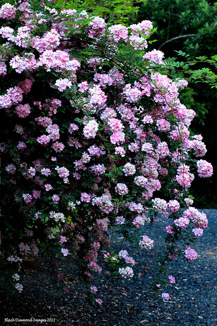 Unidentified Pink Thornless Climbing Rose