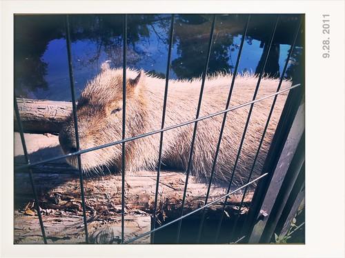 Capybara - 水豚(井の頭自然文化園 いのかしらしぜんぶんかえん)
