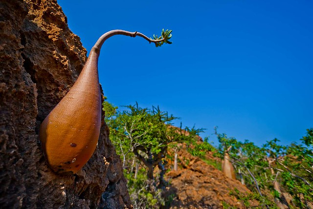 bottle tree in dihamri, soqotra island, unesco, yemen