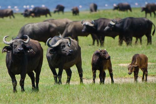 africa bridge geotagged kenya kenia gamedrive buffel djoser lakenakuru synceruscaffer africanbuffalo kafferbuffel oneofthebigfive ferdisworld afrikaansebuffel nikkorafs7020028 nikond7000 keniaentanzaniareis2011 nakurunationaalpark geo:lat=034474 geo:lon=36074165