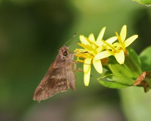 "grande state tx skipper lepidoptera park"" llano weslaco county"" grande"" cloudedskipper leremaaccius ""estero ""hidalgo"