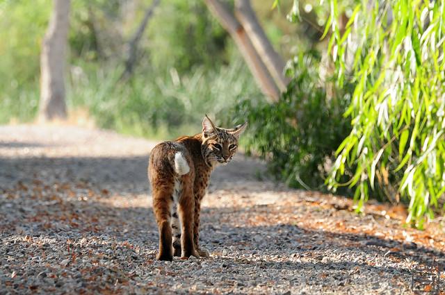 Bobcat, Tucson AZ, Nov 2011