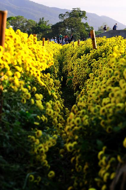 Golden Path黃金小徑@銅鑼杭菊
