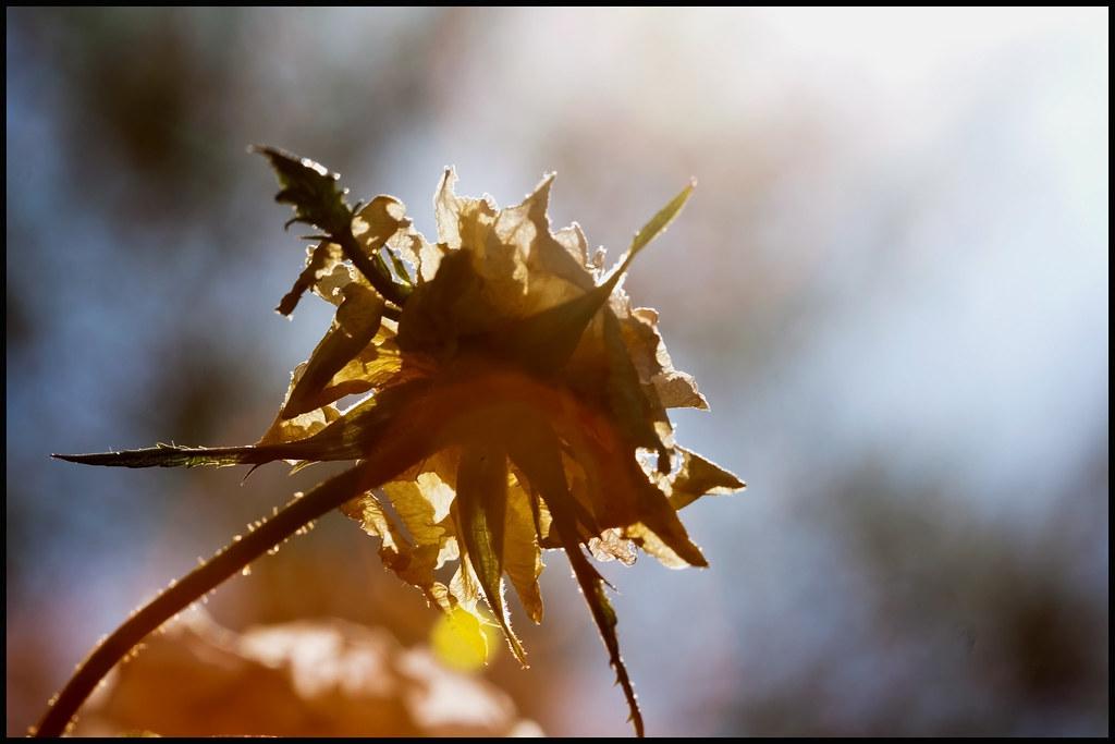 Rose through the sun