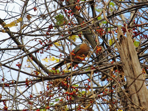 Robin among bittersweet berries