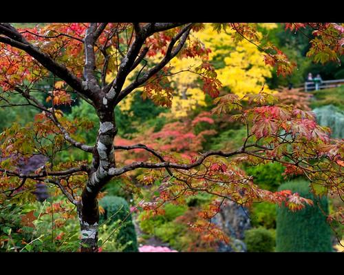 autumn canada fall colors rain garden japanese maple bc britishcolumbia victoria sunken butchartgardens nikonafsnikkor50mmf14g