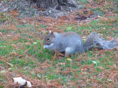 St James Park squirrel