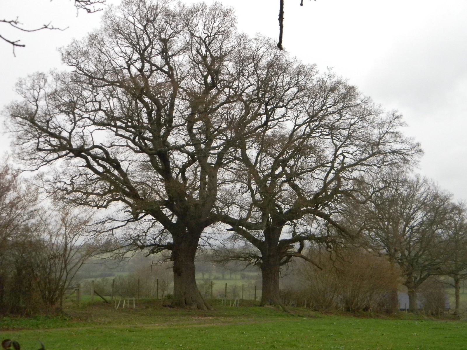 Twin trees Cowden to Hever