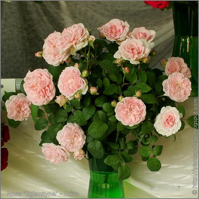 Rosa 'Eglantyne' - Róża