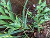 voodoo iris