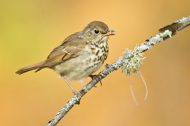 Tangerine Hermit Thrush (with Strawberry Wonka Nerds?)