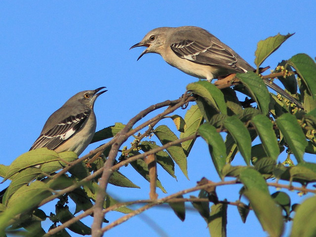 Northern Mockingbird 20111011